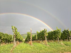 Weinreben mit Regenbogen